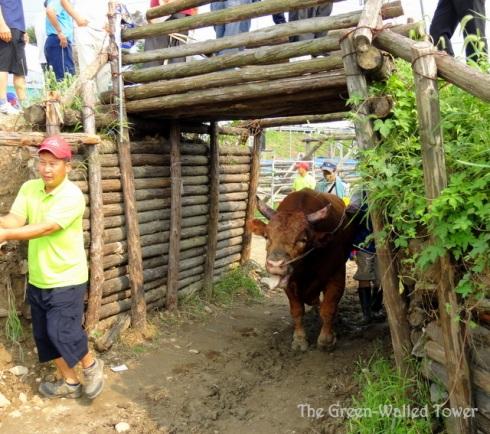 bullfighting 11