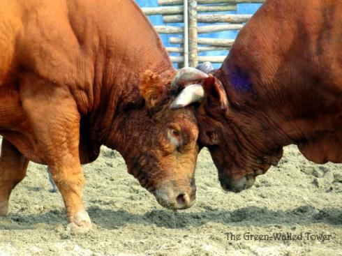 bullfighting 12