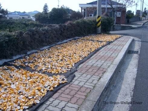 lemon peel drying in Jeju