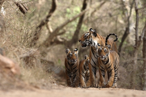 'Machali' Queen of Ranthambhore with her 3 cubs on 9 June 2007