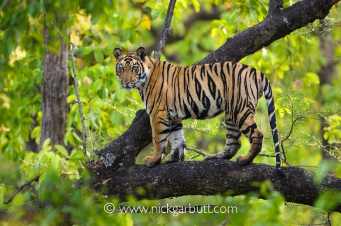Tiger climbing tree, Bandhavgarh