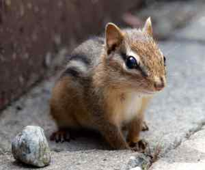 picture-of-a-baby-chipmunk